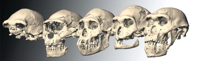 서아시아 조지아 드마니스에서 발굴된 두개골 화석 5점. 177만~185만 년이라는 짧은 기간에 걸친 화석들로 측정결과 변이가 상당히 심했지만 다른 종이라고 보기는 어렵다. 연구자들은 2013년 '사이언스'에 발표한 논문에서 이들이 모두 호모 에렉투스이며 같은 논리로 호모 하빌리스나 호모 루돌펜시스도 호모 에렉투스의 변이형일 뿐이라고 주장했다. - 사이언스 제공